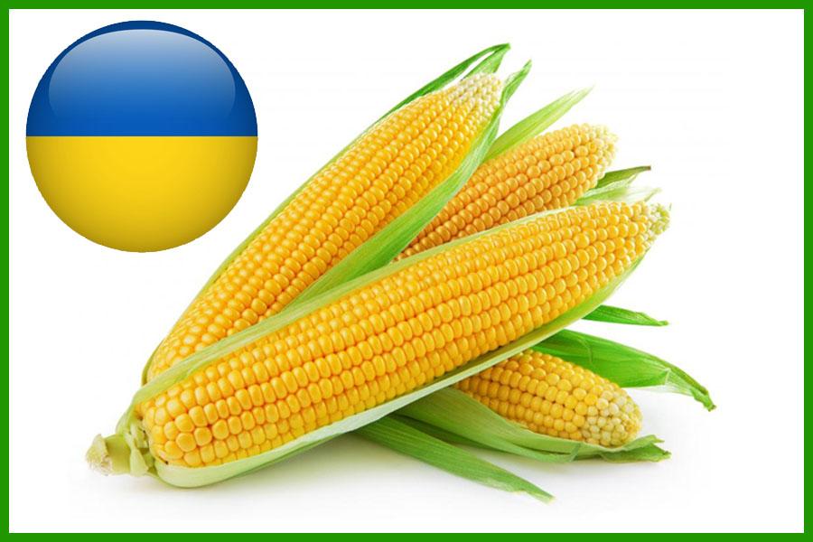 Кукуруза отечественная