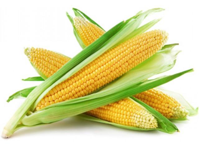 Гибрид кукурузы Любава